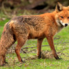 EXCLUSIVE:  Hackney Council to cull foxes in Clissold Park