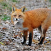 UPDATED: Hackney Council explains it's decision to halt fox cull