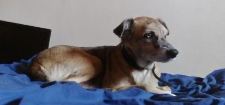 FOUND – Spinella, Stolen Dog in Finsbury Park