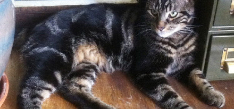 FOUND – Missing Cat: Bodhi in Finsbury Park