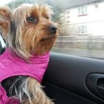 Lily Yorkshire Terrier is Missing