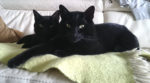 Hackney Based Cat Rescue Celebrates National Black Cat Day